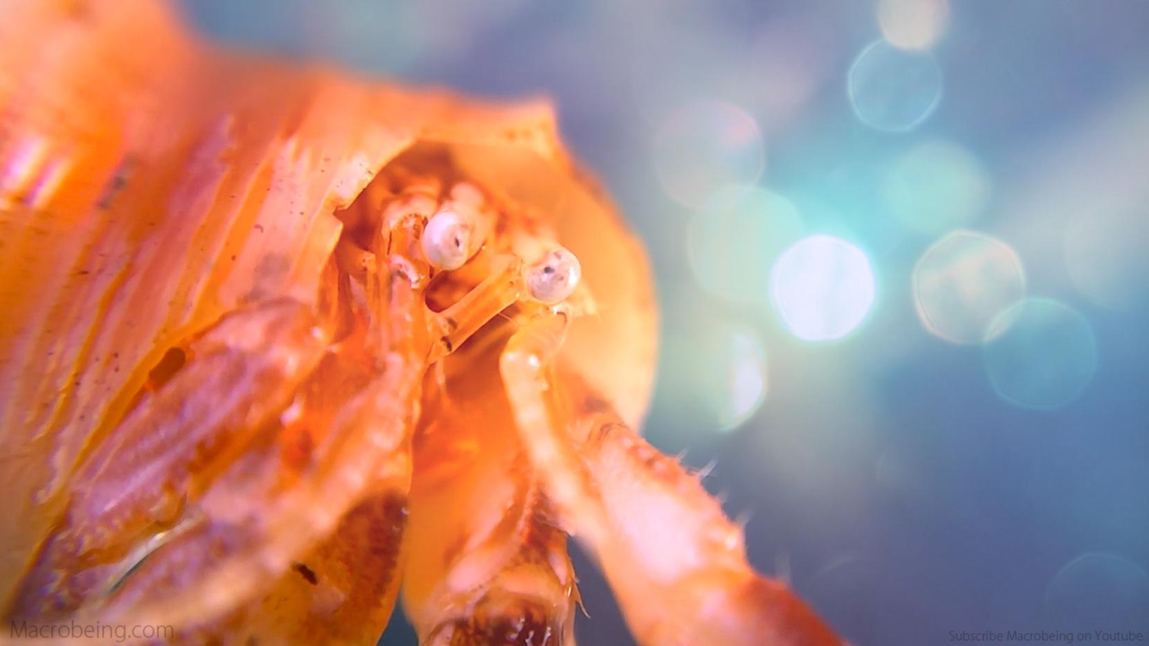 Macrobeing - Hermit Crab