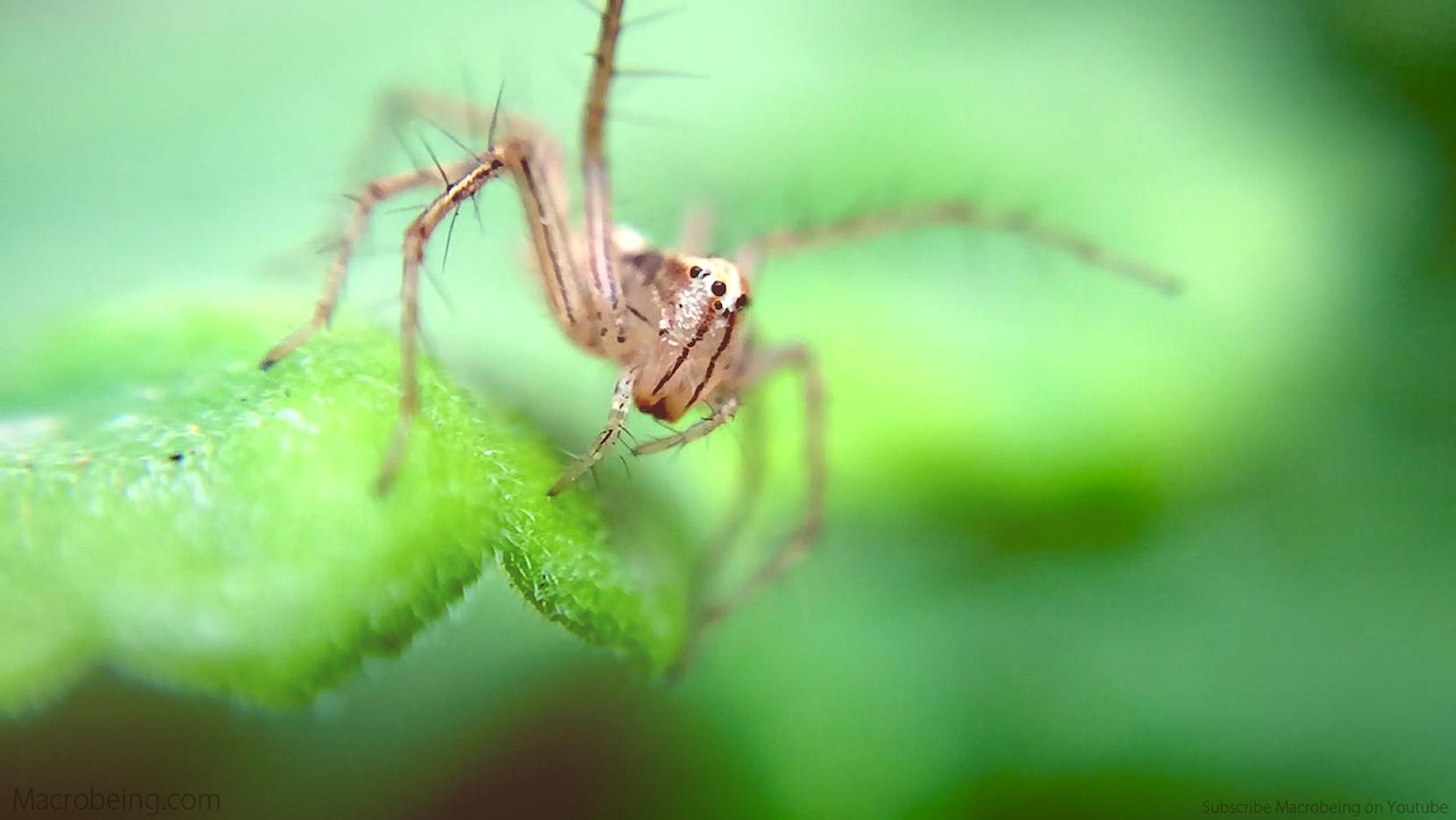 Macrobeing - Spiky Spider