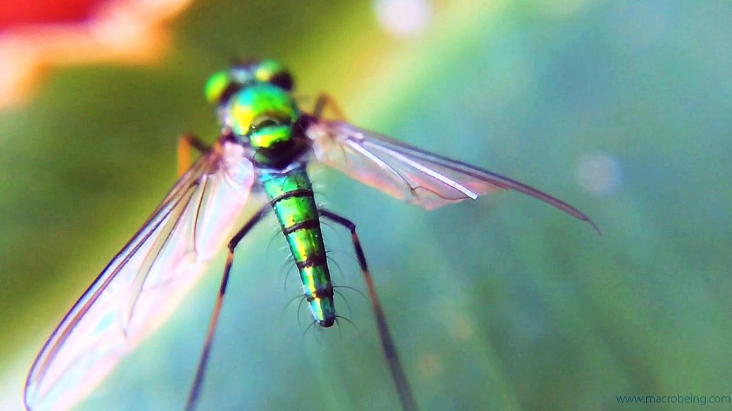 Lfly Macrobeing 2